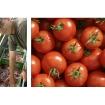 tomaten_jean-noel_0.jpg