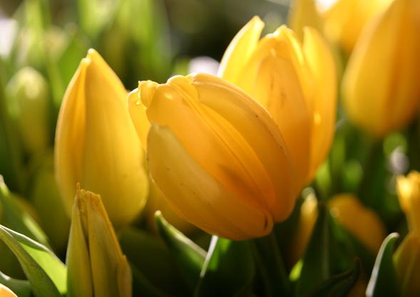 Tulpen von Hoch-Reinhard
