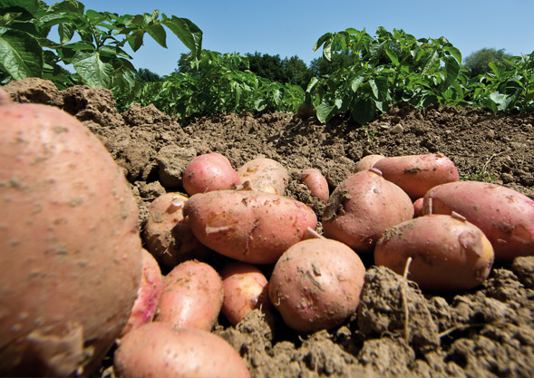 Bioland Kartoffeln